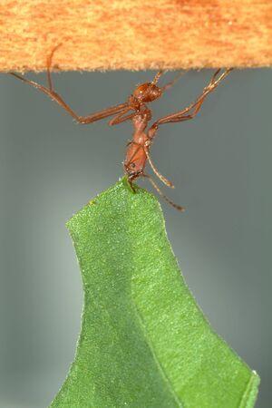 hormiga hoja: Hormigas cortadoras de hojas, Acromyrmex octospinosus, llevando la hoja, Foto de archivo