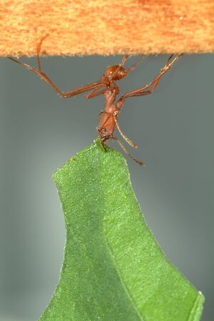 Leaf-cutter ant, Acromyrmex octospinosus, carrying leaf,
