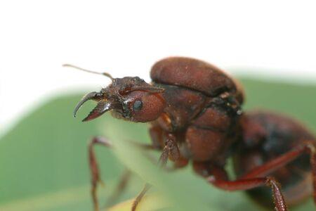 hormiga hoja: Reina Hormiga cortadora de hojas de hoja verde.