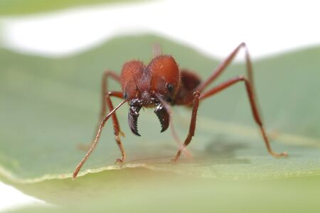 acromyrmex: Leaf Cutter Ant walking on green leaf. Macro photography.