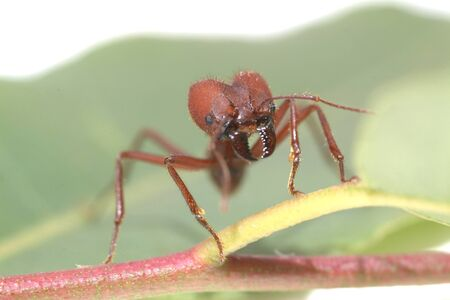 acromyrmex: Large ants on green leaf.. Macro photography.