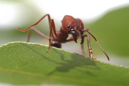 Large ants on green leaf.. Macro photography.