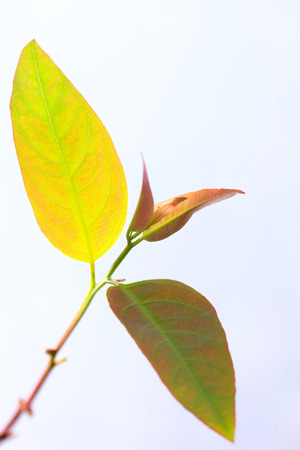 reforestation: Sapling of Eucalyptus for reforestation for pulp production.