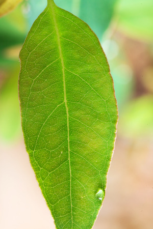 ecosavy: Sapling of Eucalyptus for reforestation for pulp production.