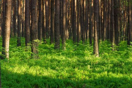Pine tree forest and ferns photo