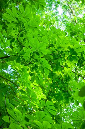 Green chestnut foliage background