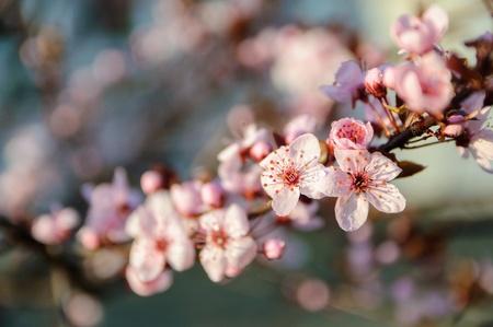 Spring photo of a cherry blossom