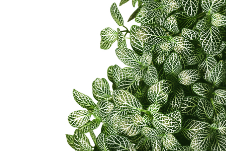 Green leaves isolated on white with empty copy space on the side. Natural plant pattern background.