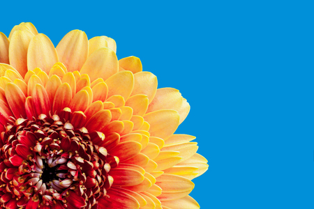 Red and yellow flakes gerbera flower isolated on blue studio background with empty copy space. 版權商用圖片