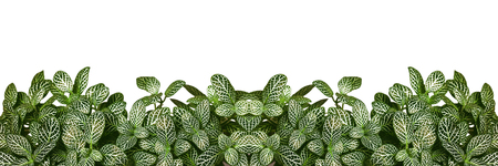 Green plant leaves isolated on white. Nature in bright studio background. Empty copy space for design text. Abstract horizontal flip creative texture.
