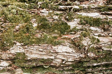 Forest tree bark with green moss texture.