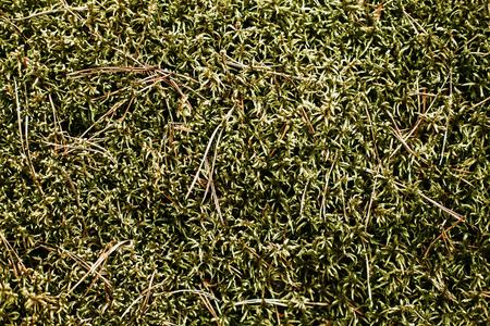 Green moss forest ground closeup macro texture. Stock Photo