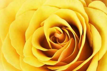 Abstract yellow rose flower closeup macro background.