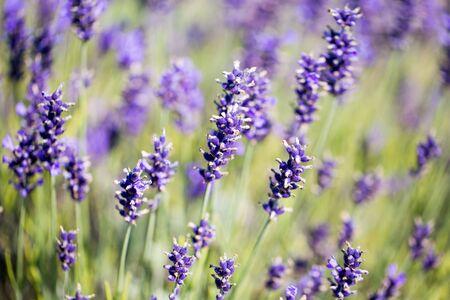 Lavender flower green meadow summer background. Zdjęcie Seryjne
