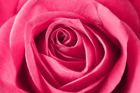 Pink rose flower background. Valentines day, mothers day, women day - perfect gift floral texture. Love symbol closeup macro flakes pattern.