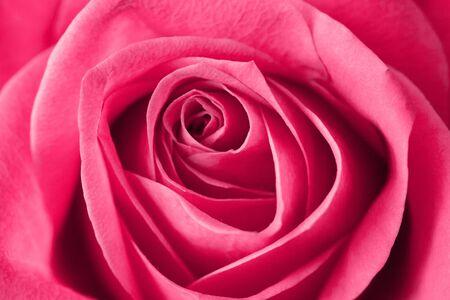 Rosa Rosenblütenhintergrund. Valentinstag, Muttertag, Frauentag - perfekte Geschenkblumenstruktur. Liebe Symbol Nahaufnahme Makro Flocken Muster.