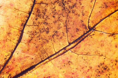 Yellow autumn leaf background. Vibrant golden color natural veins texture. Closeup macro orange fall pattern.