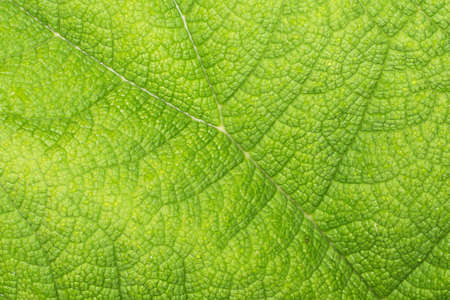 Burdock leaf texture. Green nature eco pattern. Leaf vein structure background. Wild growing plant cells. Foliage backdrop.