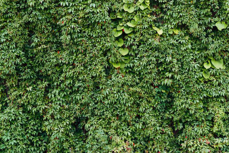 Climber plant background. Creeper plant texture. Gedge bush pattern. Natural summer wall. Home outdoor decoration. Green leaves texture. Banque d'images