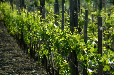 winemaker: wineyard in may