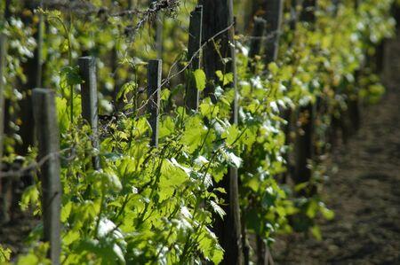 wineyard in may photo