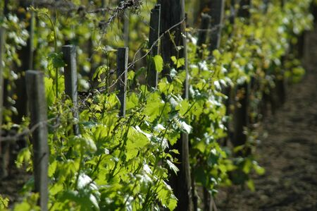 wineyard: wineyard in may