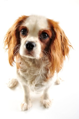 cavalier king charles spaniel and white background photo