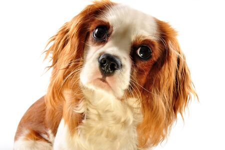 cavalier king charles spaniel and white background Stock Photo - 8055448