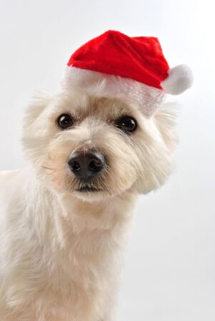 a young west highland terrier with santa hat photo