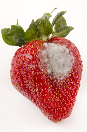 strawberry with mold fungus, no longer suitable for consumption