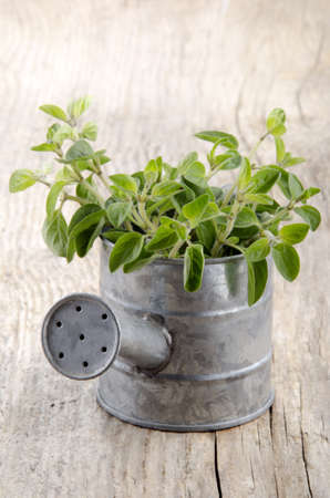 zinc: fresh oregano in a zinc watering can