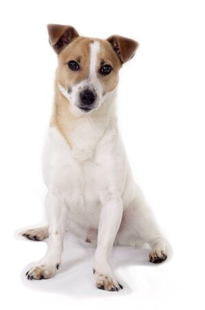 brown and white male jack russell terrier on white background photo