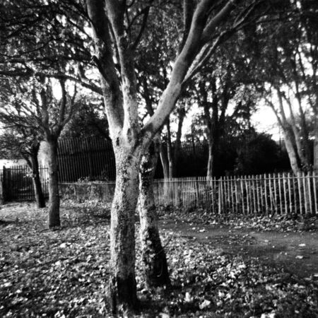 Trees in the park in autumn - This black and white photo is NOT sharp due to camera characteristic. Taken on film with a medium format camera Standard-Bild