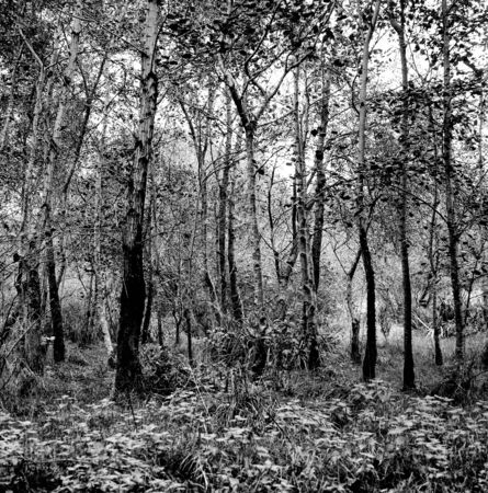 Forest in autumn with lots of trees - This black and white photo is NOT sharp due to camera characteristic. Taken on black and white film