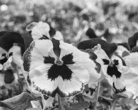 Pansies in full bloom in the spring, this black and white photo was taken with a pinhole film camera, which corresponds to the camera characteristic
