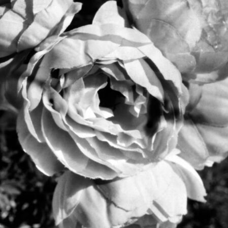 the bloom of a peony rose blooming in may, this black and white photo was taken with a pinhole film camera, which corresponds to the camera characteristic