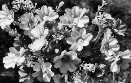 bouquet of flowers with many small flowers, this black and white photo was taken with a pinhole film camera, which corresponds to the camera characteristic Standard-Bild