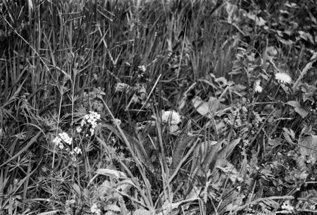 natural meadow also good for insects, this black and white photo was taken with a pinhole film camera, which corresponds to the camera characteristic