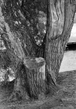the old tree stands next to the river, this black and white photo was taken with a pinhole film camera, which corresponds to the camera characteristic Standard-Bild