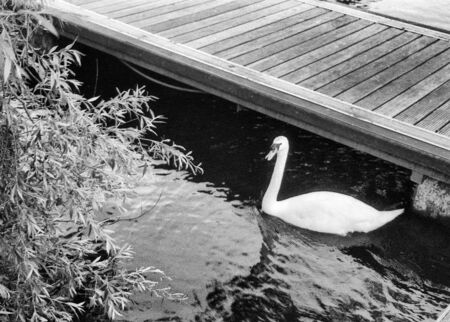 swan and tree on a jetty, river erne, UK in black and white, this black and white photo was taken with a pinhole film camera, which corresponds to the camera characteristic