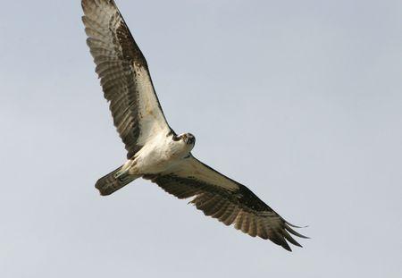 osprey: Soaring Osprey