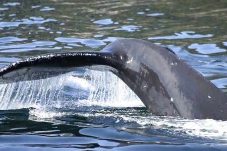 baleen whale: Jorobadas fluke  Foto de archivo