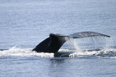baleen whale: Melanocetus hep�tico