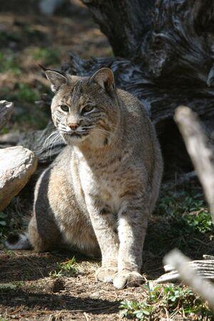 bobcat: Bobcat  Foto de archivo