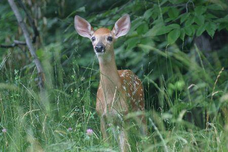 Fawn deer photo