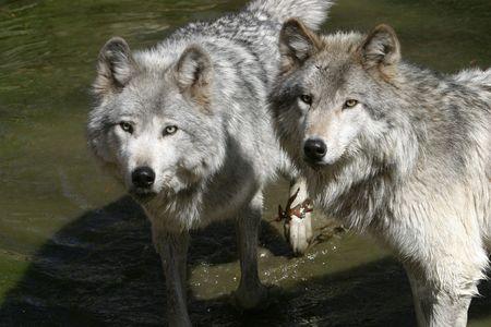 pack animal: Wolf  Archivio Fotografico