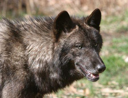 howl: Wolf