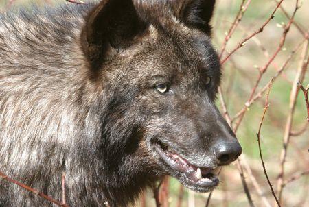 territorial: Wolf