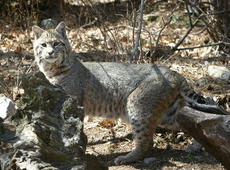 elusive: Bobcat