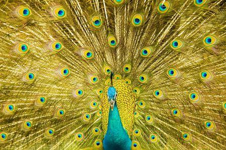 peacock feathers: beautiful peacock Stock Photo